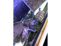 Turtles x4