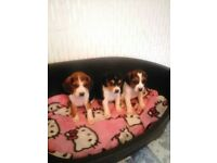 Beautiful litter of foot beagle pups for sale