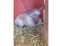 Baby lionheads £25 for the both