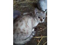 seal lynx point snow bengal girl
