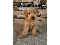 F1 TOY LABRADOODLE PUPPIES