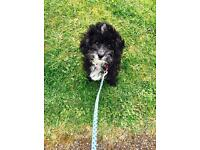 Toy poodle for sale £550 will let her go for 500
