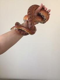 Corn snake with terrarium and eqipment
