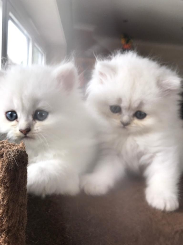 Persian kitten for sale manchester – Popular breeds of cats photo blog