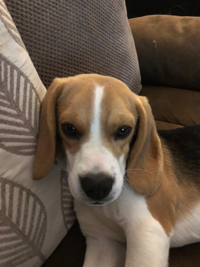 WHAT YEAR WOULD A T REG BEAGLES