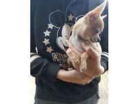 Tiny chihuahua puppies 5 month old