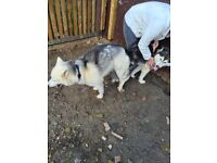 Pedigree siberian husky puppy's