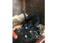 Last of litter male rabbit