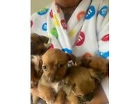 Full breed Chihuahua puppies