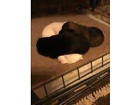 Jack Russell x Norfolk terrier