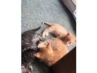 £150 each. 1 ginger beautiful kitten ready to collect litter trained