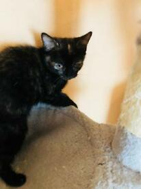 beautiful black kitten for sale