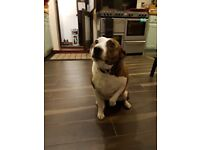 Handsome male Staffy & his best friend Staffy x Jack Russell female available for the right home.