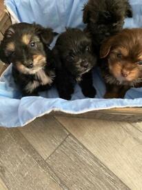 Shipoo puppy's