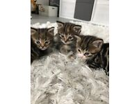 Kittens for sale ready 12th June