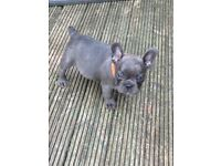 kc blue fawn and solid blue french bulldog pups, tan/tricolor carriers,