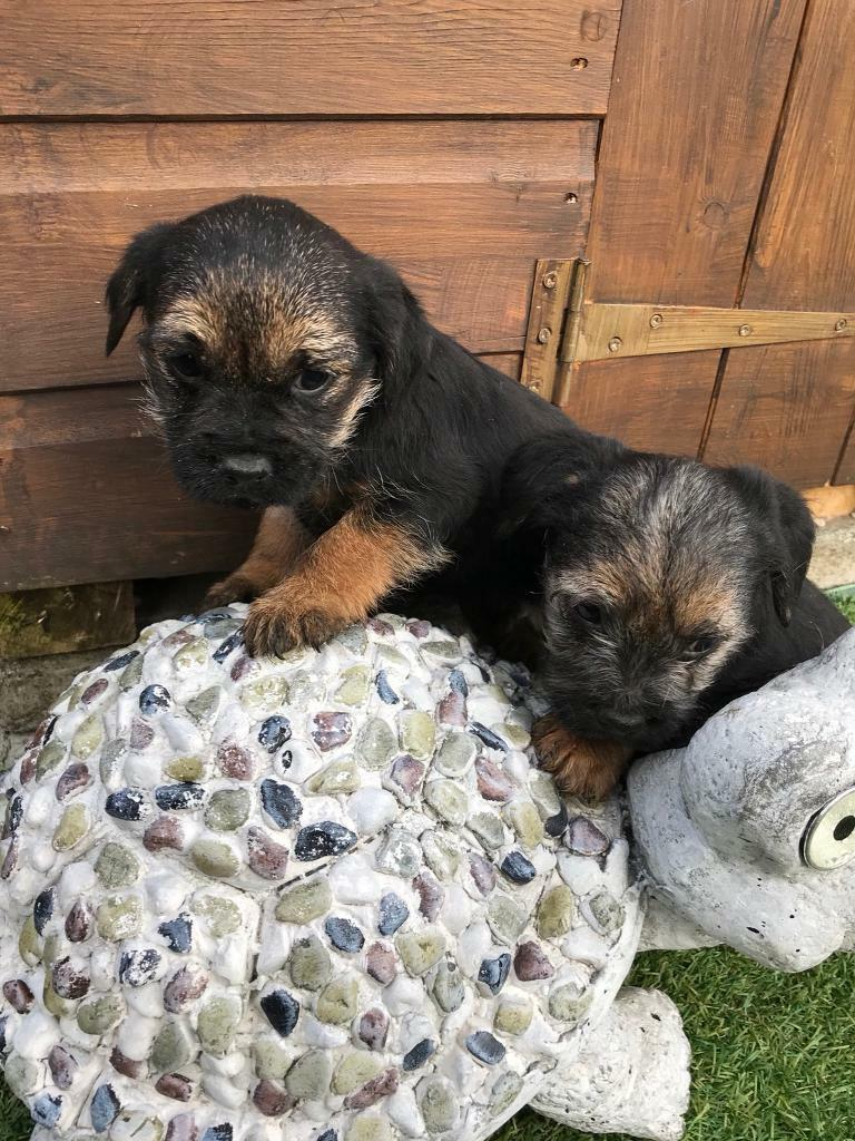 Beautiful border terrier puppies for sale | in Dartford, Kent | Gumtree | Border Terrier Puppies In Glasgow