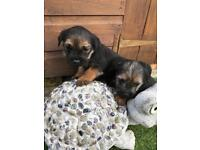 Beautiful border terrier puppies for sale