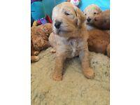Unusual colour standard poodle pups