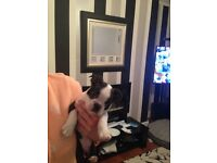 Boston terrier puppy male
