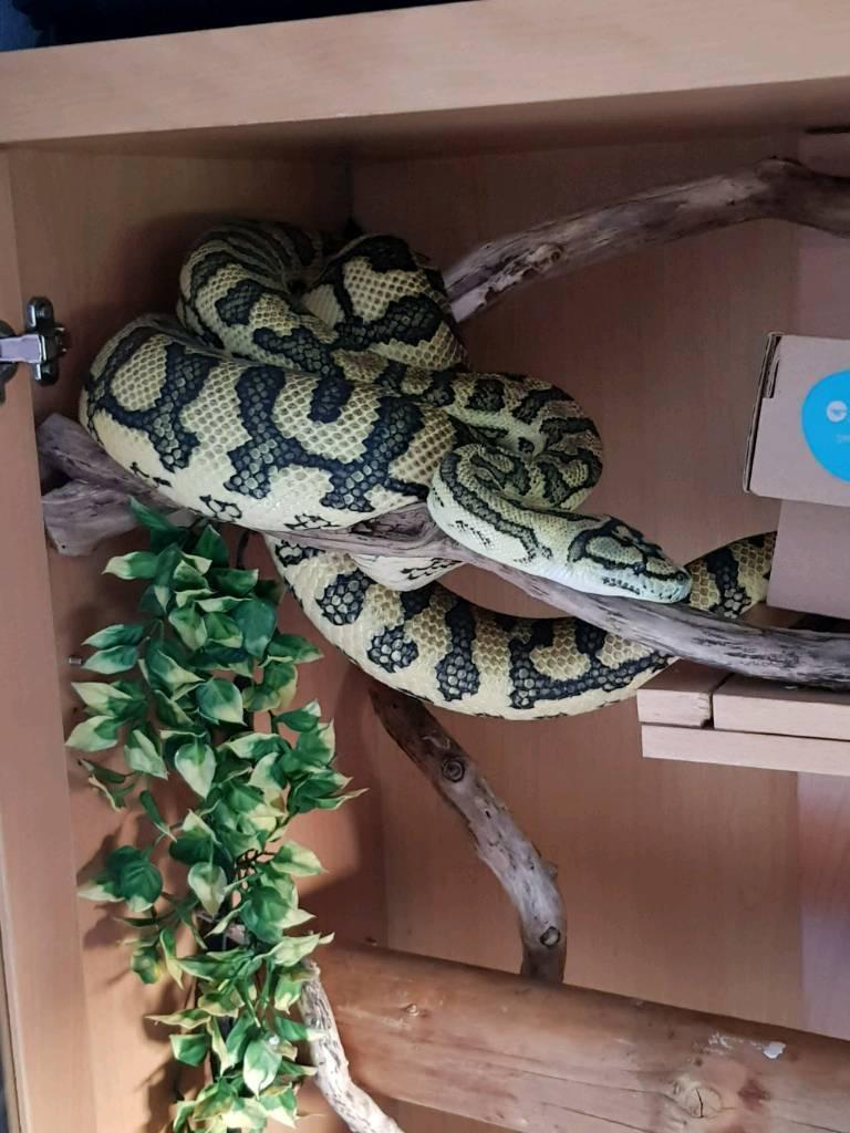 Female Jungle Jaguar Carpet Python full set up.