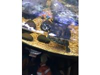 Yellow bellied turtles and tank REDUCED