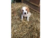 Female beagle pup