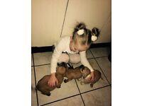 Bullstaff pups for sale