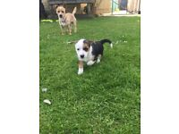 Jack Russel Terrier Puppies for sale