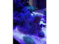 Marine sabea anemone