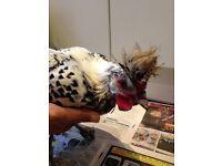 Friendly chicken for sale silver spangled appenzeller spitzhauben male