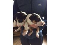 Kc registered English bull terrier pups