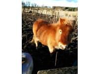 Shetland SPSBS Reg ponies