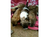 Lhasa apso x Puppies for sale