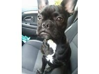 French Bulldog FEMALE - black brindle