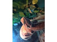 6 month old bearded dragon with nice set up