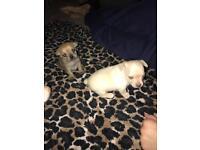 chihuhuah puppies