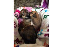 Lapaso/poodle / jack Russell pups