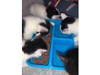Kittens for sale. White & black / black & white