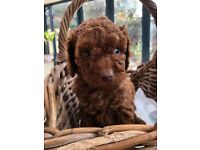 Gorgeous F1b Cavapoo puppies ( ready in 1 week