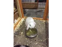 Mini lop rabbit 8 weeks old