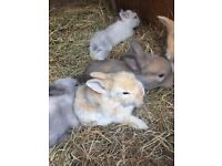 Lionhead cross babies ready to go 27th June