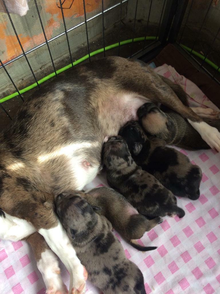 Jug pups for sale