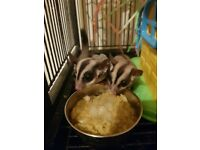Sugar glider pair and setup