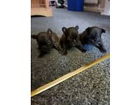 pure breed french bulldoy puppie last one left