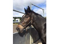 Sharer wanted 3/4 days a week for my lovely 16.1hh Irish sports horse