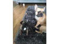 French bulldog puppy reduced 💥💥