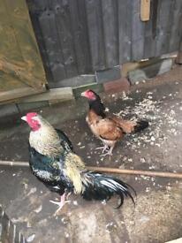 Aseel , asil chicks