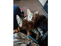 13 week old kittens