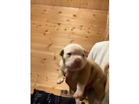 Chunky Muscletone American Pocket Bully Puppy ABKC